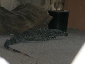 goanna (lace monitor lizard)